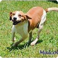 Adopt A Pet :: Malcolm - Madison, WI