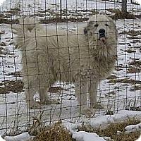 Adopt A Pet :: Bruin - Minneapolis, MN