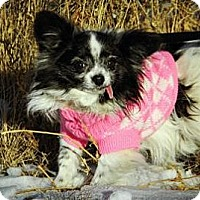 Adopt A Pet :: Itsy - Cheyenne, WY