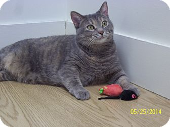 Domestic Shorthair Cat for adoption in Milwaukee, Wisconsin - Imogen