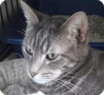 American Shorthair Cat for adoption in New Orleans, Louisiana - Boomer