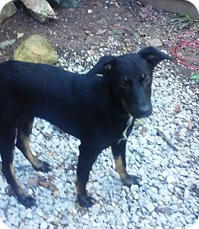 Shepherd (Unknown Type) Mix Puppy for adoption in oxford, New Jersey - Coco