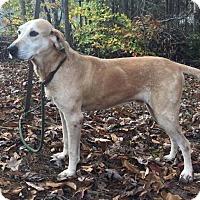 Adopt A Pet :: Sweet Jake ($400) - Brattleboro, VT
