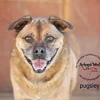 Pug Mix Dog for adoption in Toluca Lake, California - Pugsly