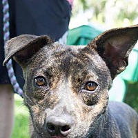 Adopt A Pet :: Brindi - Davie, FL