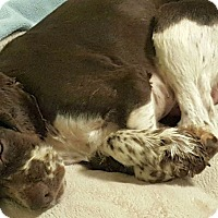 Adopt A Pet :: Beck - Marietta, GA