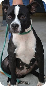 Boston Terrier Mix Dog for adoption in Beaumont, Texas - Lela