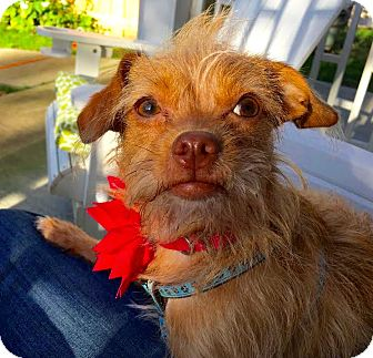Norfolk Terrier/Chihuahua Mix Dog for adoption in New York, New York - Ladybird