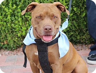 American Pit Bull Terrier Mix Dog for adoption in Las Vegas, Nevada - COFFEE