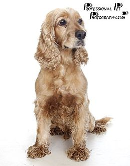 Cocker Spaniel Dog for adoption in Fort Lauderdale, Florida - Mellow