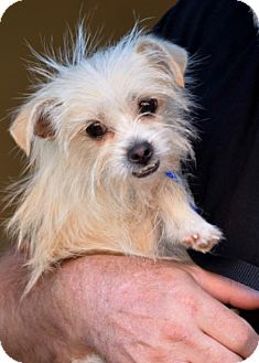 Westie, West Highland White Terrier/Chihuahua Mix Puppy for adoption in Abilene, Texas - Flicker