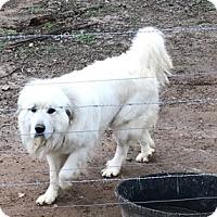 Adopt A Pet :: Boomer - Gainesville, GA
