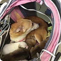 Adopt A Pet :: Gidget - S. Pasedena, FL