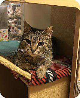 Domestic Shorthair Kitten for adoption in Barrington Hills, Illinois - Trixie