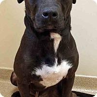 American Staffordshire Terrier/Labrador Retriever Mix Dog for adoption in Oswego, Illinois - Allen