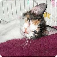 Adopt A Pet :: Sassy Purrletta - lake elsinore, CA