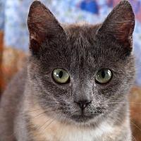 American Shorthair Cat for adoption in Maynardville, Tennessee - Flower