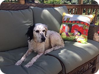 English Setter Dog for adoption in Pine Grove, Pennsylvania - ROSE-IL