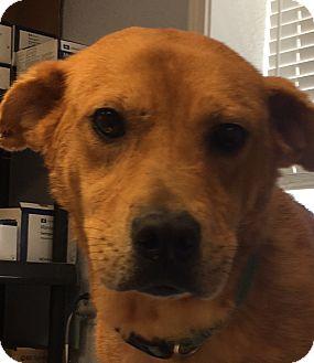 Labrador Retriever/Hound (Unknown Type) Mix Dog for adoption in Billerica, Massachusetts - Baleigh