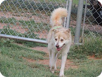 Husky Dog for adoption in Denver City, Texas - Blondie
