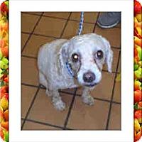 Adopt A Pet :: Trixie - IL - Tulsa, OK