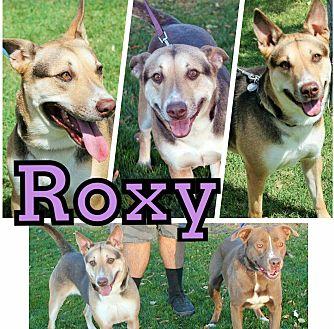 German Shepherd Dog Mix Dog for adoption in Gilbert, Arizona - Roxy