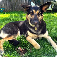 German Shepherd Dog Mix Dog for adoption in Walnut Creek, California - Terra