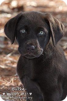 Labrador Retriever/Labrador Retriever Mix Puppy for adoption in Minneola, Florida - Burke