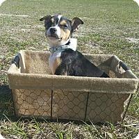Adopt A Pet :: Clover - Ocala, FL