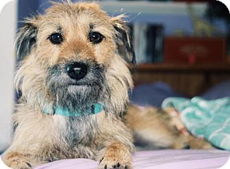 Cairn Terrier Mix Dog for adoption in Fort Lauderdale, Florida - Dharma