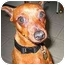 Photo 2 - Miniature Pinscher Dog for adoption in Florissant, Missouri - Alice