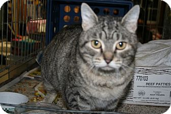 American Shorthair Cat for adoption in Foster, Rhode Island - Beatrice