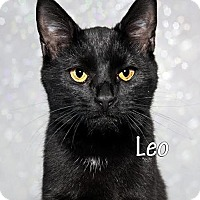 Domestic Shorthair Cat for adoption in Fort Mill, South Carolina - Leo 5245R