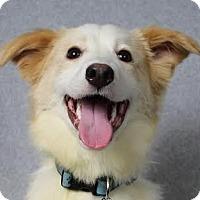 Adopt A Pet :: Cody - Minneapolis, MN