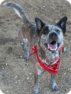 Dutch Shepherd/Cattle Dog Mix Dog for adoption in Pilot Point, Texas - Brody