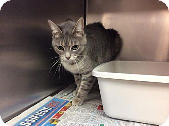 Domestic Mediumhair Cat for adoption in Janesville, Wisconsin - Morgaine