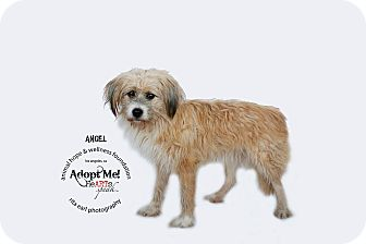 Briard/Terrier (Unknown Type, Medium) Mix Dog for adoption in Sherman Oaks, California - ANGEL