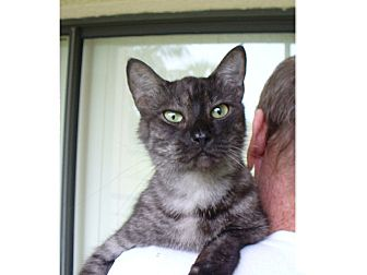Domestic Shorthair Cat for adoption in Lighthouse Point, Florida - Mr. Snuggles