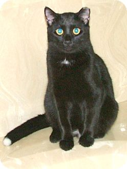 Domestic Shorthair Cat for adoption in Chattanooga, Tennessee - Harvey