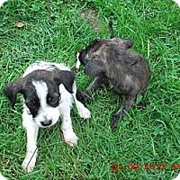 Adopt A Pet :: Puppies - Acme, PA