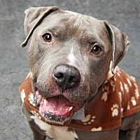 American Staffordshire Terrier/American Pit Bull Terrier Mix Dog for adoption in Staten Island, New York - Diesel