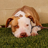 Adopt A Pet :: Anna Rose - Inglewood, CA