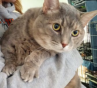 Domestic Shorthair Cat for adoption in Port Clinton, Ohio - Jenna