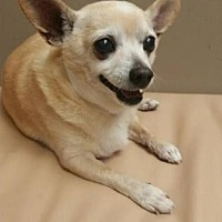 Chihuahua Dog for adoption in Scottsdale, Arizona - Axel
