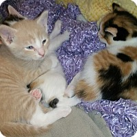 Adopt A Pet :: Daisy's 4 kittens - Chicago, IL