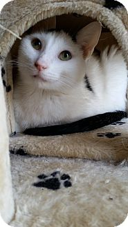 Domestic Shorthair Cat for adoption in Bartlett, Tennessee - Duncan