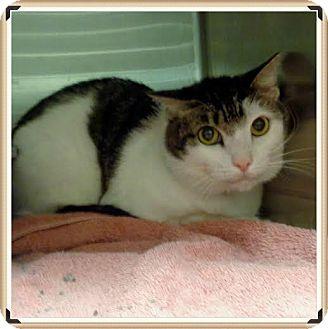 Domestic Shorthair Cat for adoption in Marietta, Georgia - ZACK