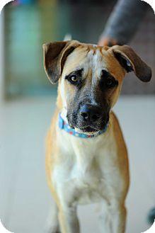 Anatolian Shepherd/Great Dane Mix Dog for adoption in Culver City, California - Trapper
