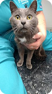 Domestic Shorthair Cat for adoption in Austintown, Ohio - Christian