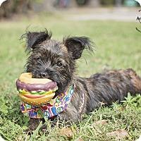 Adopt A Pet :: Candie - Kingwood, TX